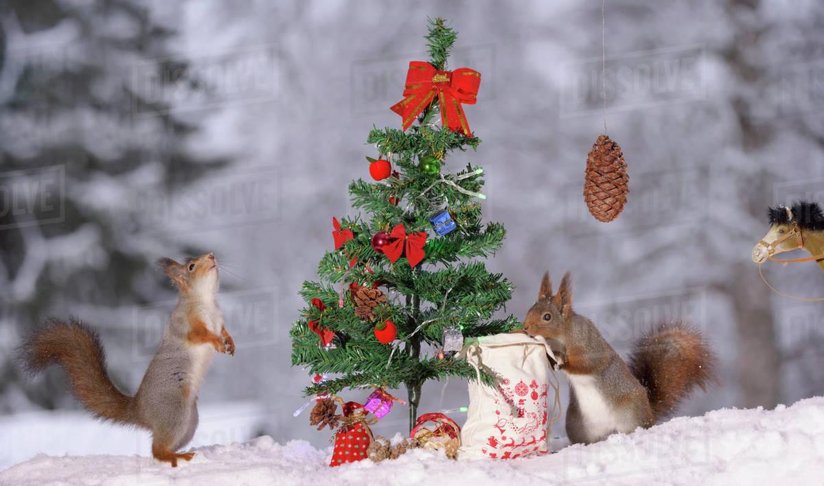 red squirrels examining miniature christmas tree bispgarden jamtland sweden - Miniature Christmas Tree