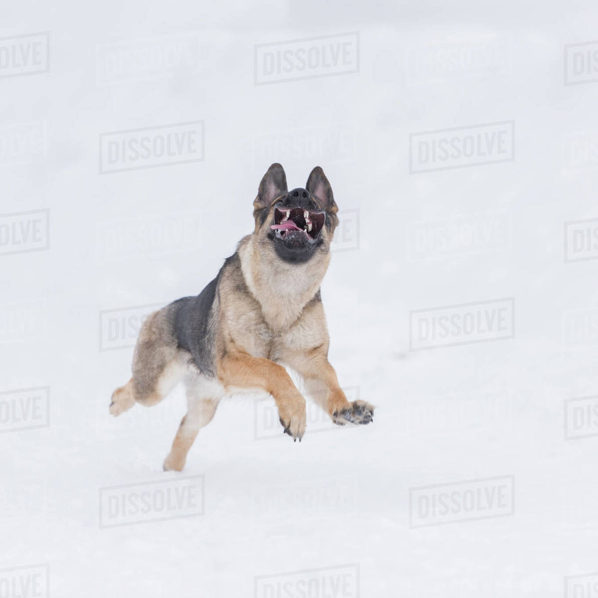 Photograph Of A Single German Shepherd Dog Running In Snow Stock