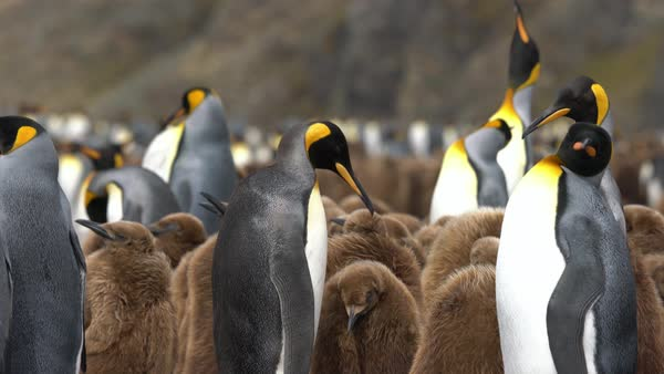 King Penguins, South Georgia And The South Sandwich Islands Royalty-free stock video