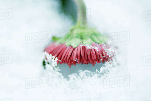 Flower emerging from snow Royalty-free stock photo