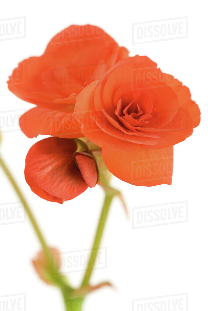 Begonia Flowers On White Background Stock Photo Dissolve