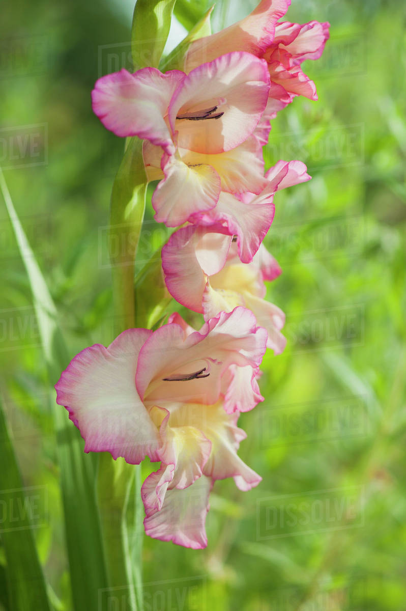 Pink Gladiolus Flowers Stock Photo Dissolve