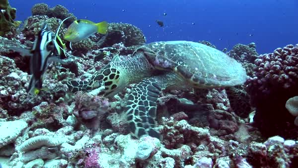 Hawksbill turtle on a tropical reef feeding with colorful fish around Royalty-free stock video