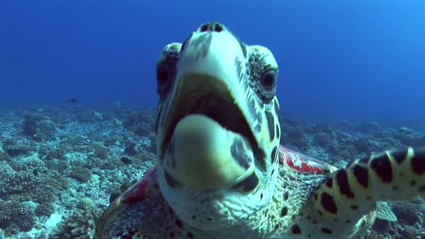Hawksbill turtle on a tropical reef curious and getting close to camera Royalty-free stock video