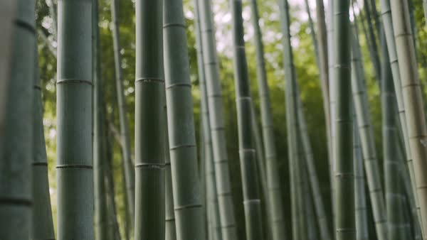 Wide dolly shot of green bamboo in Kyoto, Japan. Royalty-free stock video