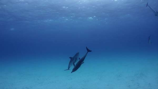 Underwater shot of spotted dolphins swimming near the sandy seabed in turquoise water Rights-managed stock video