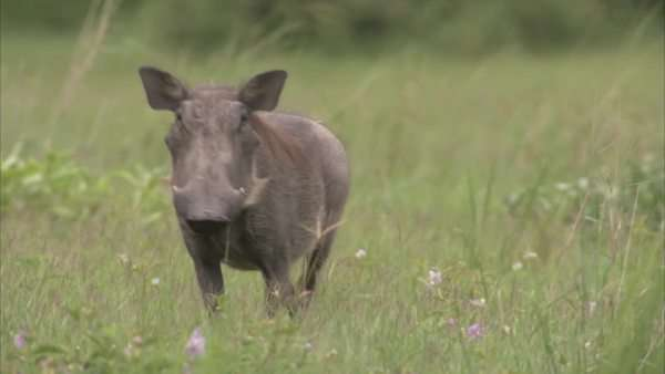 Warthog Rights-managed stock video