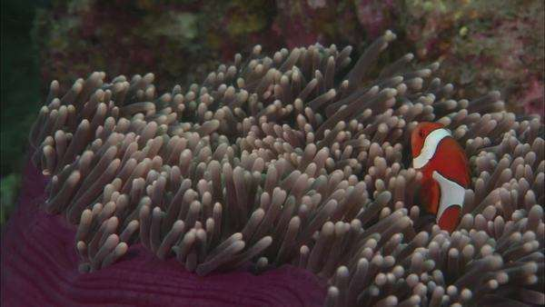 Push-out shot of clownfish in purple anemone Rights-managed stock video
