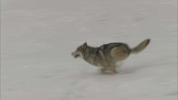 Tracking shot of a wolf running in snow Rights-managed stock video