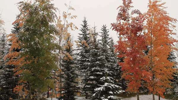 Static shot of snow falling on autumn trees Rights-managed stock video