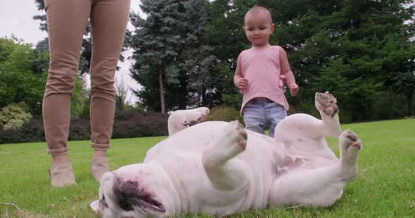 Funny bulldog rolling around in grass toddler watches Royalty-free stock video