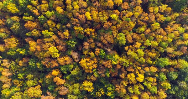 Looking down on forest of breathtaking autumn colors with winding river, aerial flyover. Royalty-free stock video