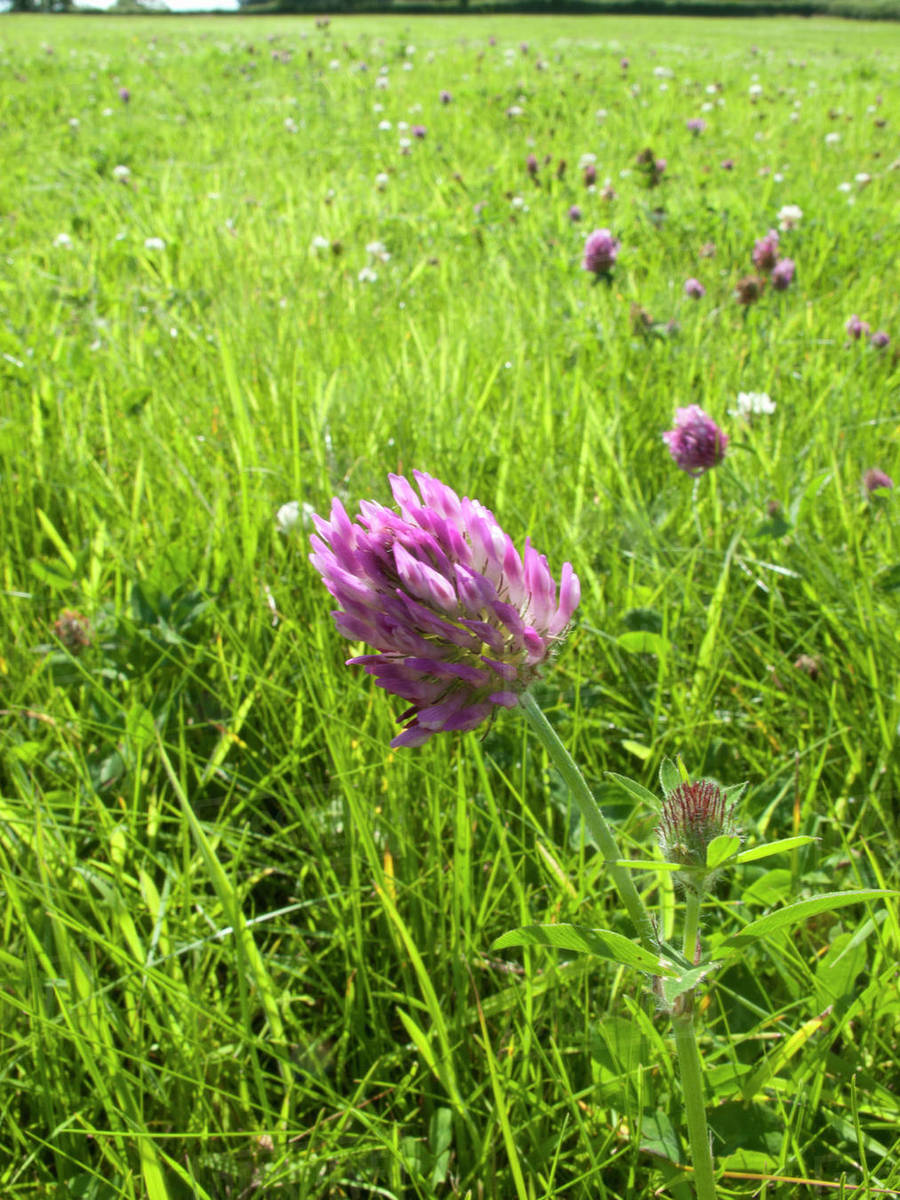 Purple Clover Blooming In Grassy Field Stock Photo Dissolve