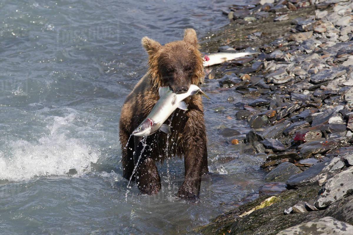 Brown Bear cub (ursus arctos) fishing near the Solomon Gulch Fish Hatchery