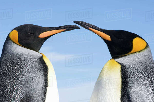 King penguins (Aptenodytes patagonicus)courting, Gold Harbour, South Georgia Rights-managed stock photo