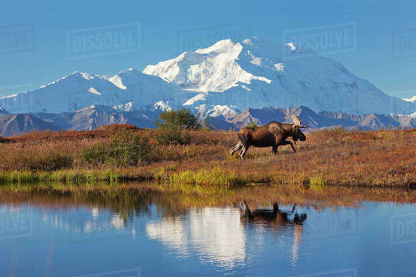 Bull moose reflection in a small kettle pond with the summit of Mt McKinley in the distance, Denali National Park, Alaska. Rights-managed stock photo