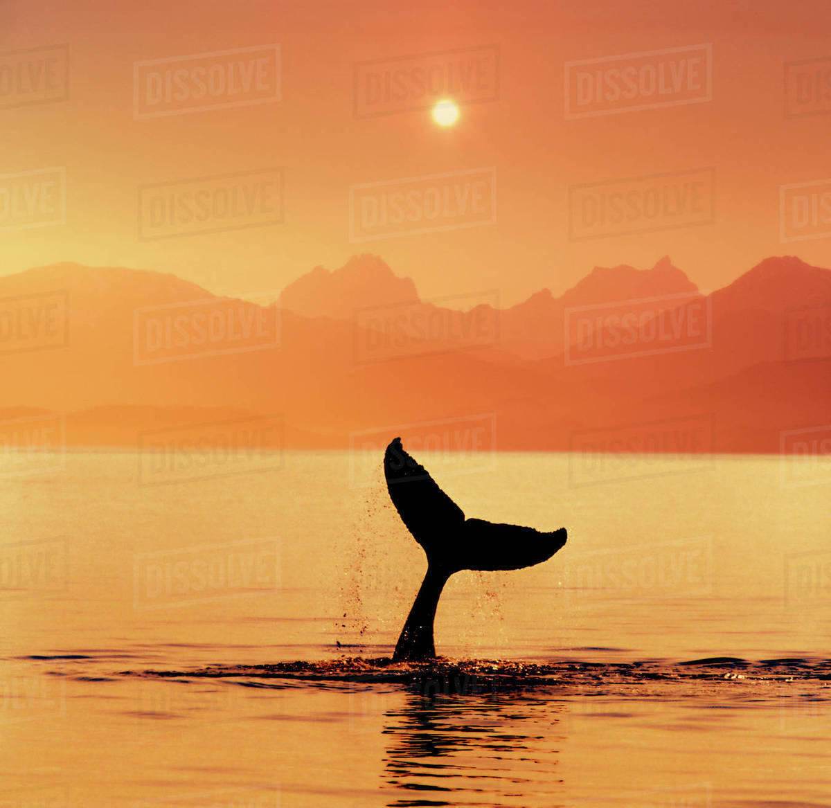 7560c8d0b201 Silhouetted Humpback Whale Tail at Sunset Lynn Canal Alaska Southeast  Summer Coast Mtns Composite