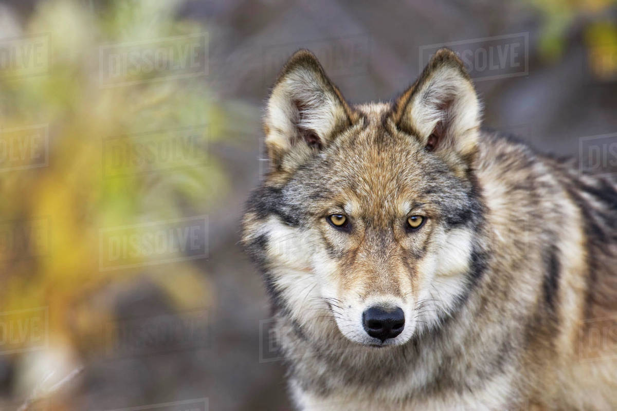 Portrait Of The Alpha Female Grey Wolf (Canis Lupus) Of The Toklat Pack,  Denali National Park And Preserve, Interior Alaska, Fall stock photo