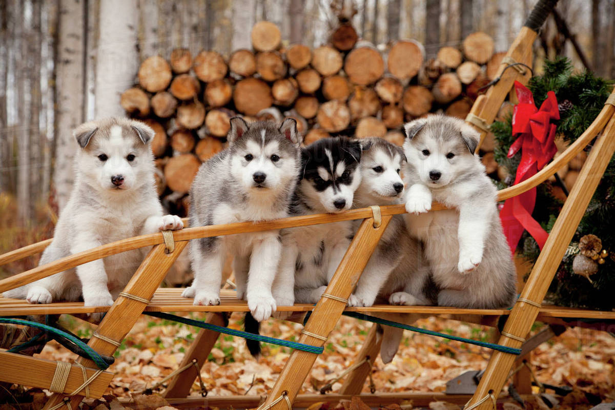 Husky Christmas Puppy.Siberian Husky Puppies In Traditional Wooden Dog Sled With Christmas Wreath Alaska Stock Photo