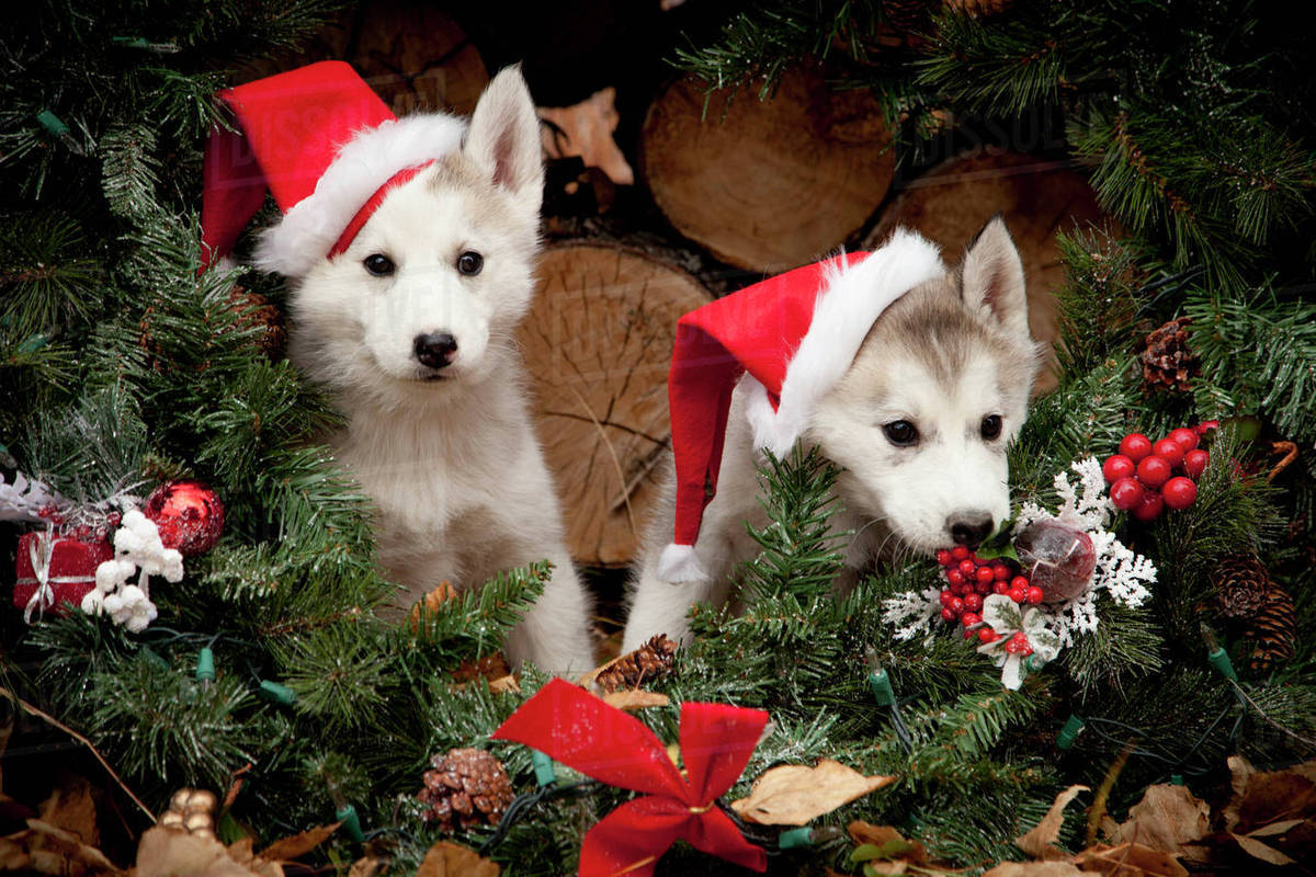 siberian husky puppies wearing santa hats sit inside a christmas wreath outdoors alaska autumn