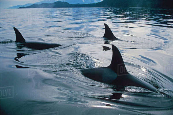 Close Up Of Orca Family Inside Passage Southeast Alaska Summer Rights-managed stock photo