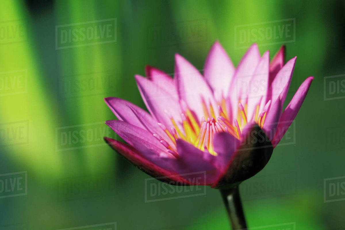 Close up detail of single pink purple water lily flower with darker close up detail of single pink purple water lily flower with darker tips izmirmasajfo