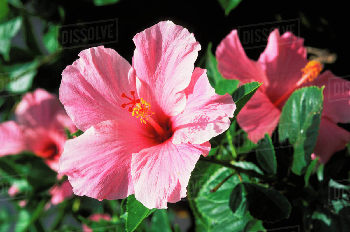Soft Pink Hibiscus Flower On Bush Others Soft Focus In Background Stock Photo Dissolve