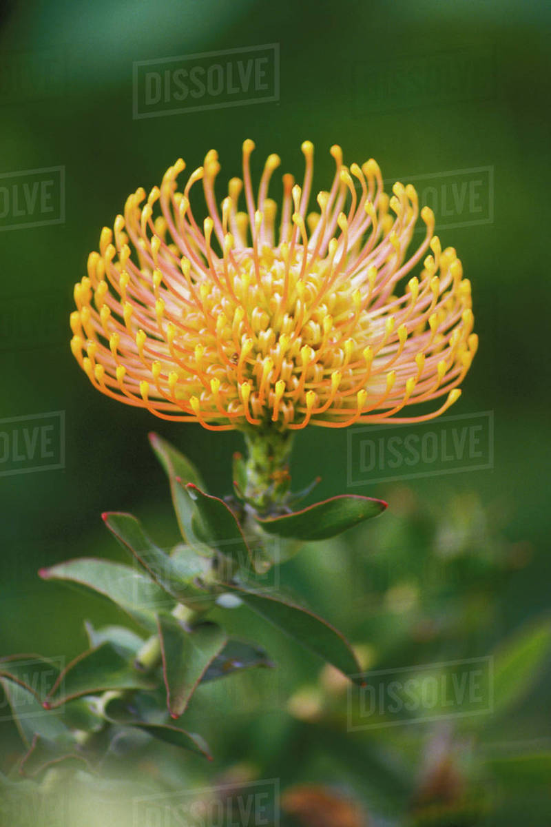 Hawaii Maui Close Up Side View Of Yellow Pin Cushion Protea Outdoor On Plant Endemic Stock Photo