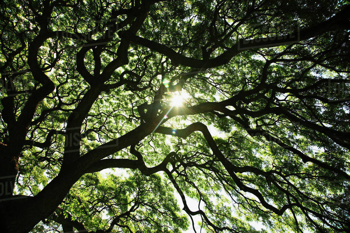 Hawaii Oahu Huge Monkey Pod Tree With Sunlight Shinning Through Branches