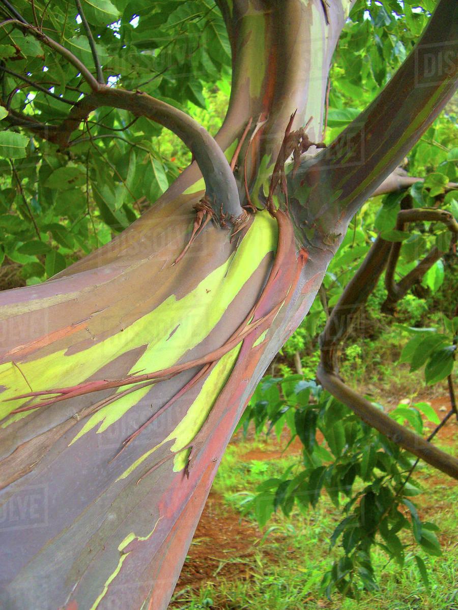 hawaii maui close up of a the bark of a rainbow eucalyptus tree