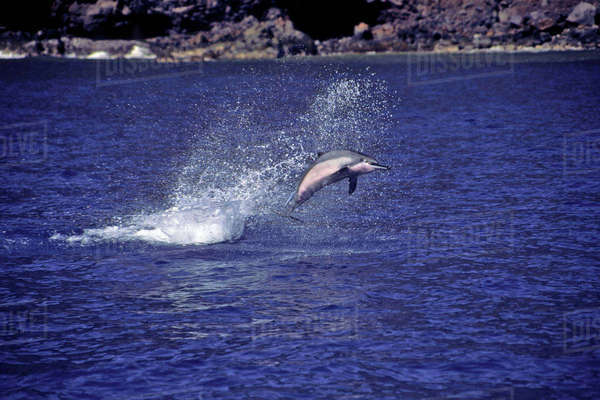 Hawaii, A Spinner Dolphin (Stenella Longirostris) With Attached Remora Leaps Into The Air. Rights-managed stock photo