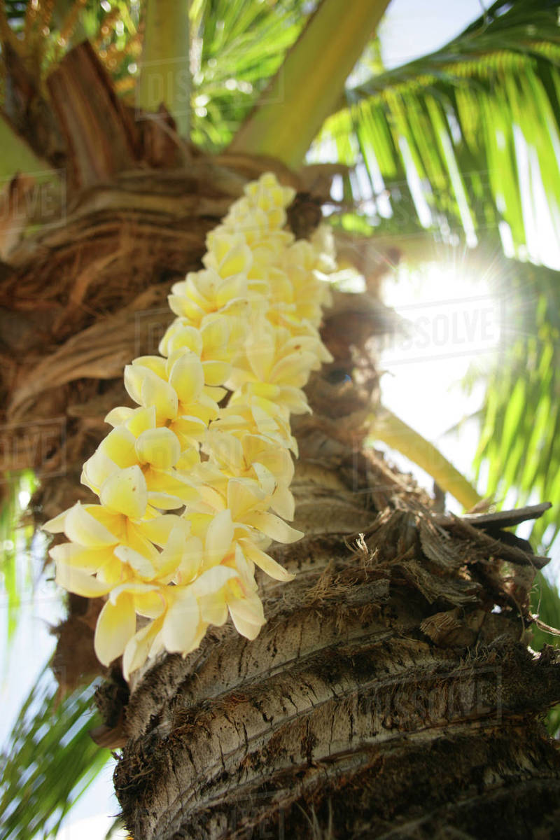 Usa Close Up Of Yellow Plumeria Lei Hanging From Palm Tree Hawaii