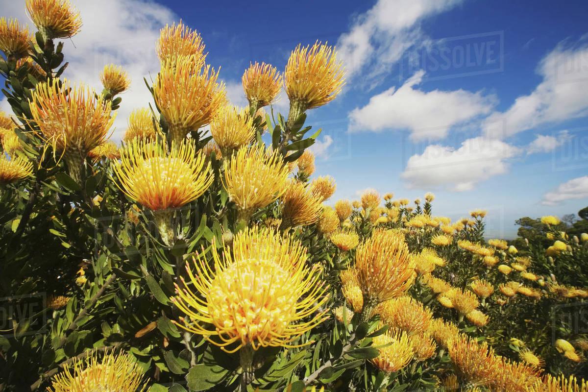 Hawaii Maui Kula Beautiful Field Of Yellow Pin Cushion Protea Blossoms Leucospermum With Blue Sky And Clouds Stock Photo
