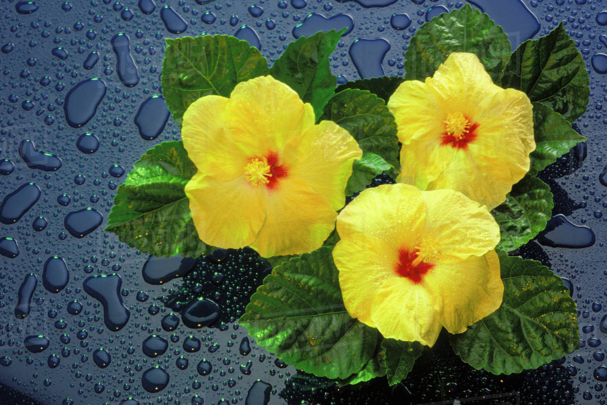 Hawaii Yellow Hibiscus Flowers On Blue Background Water Drops