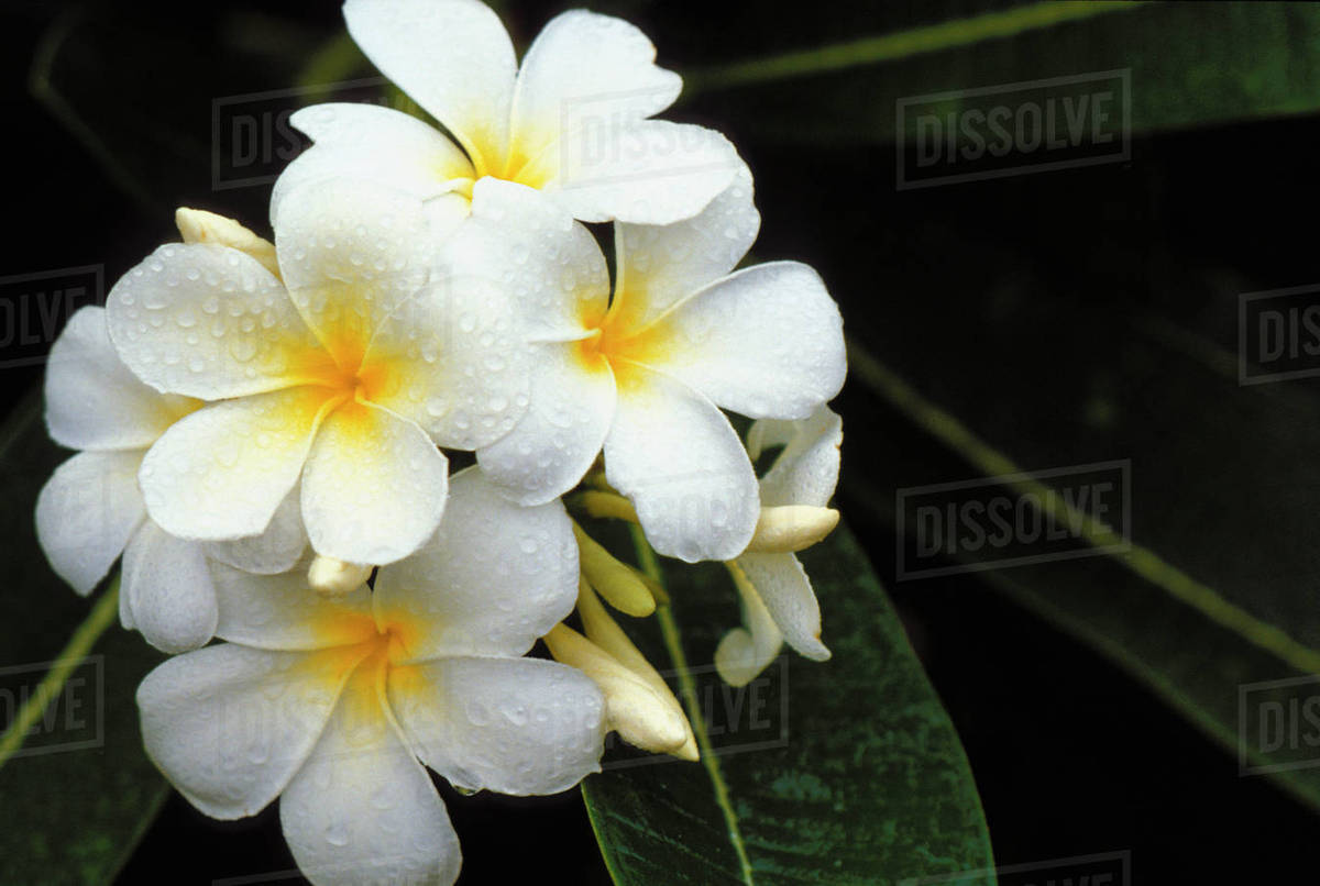 Hawaii White Plumeria Flowers Cluster On Tree Raindrops Stock
