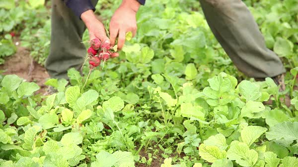Person harvesting radishes Royalty-free stock video