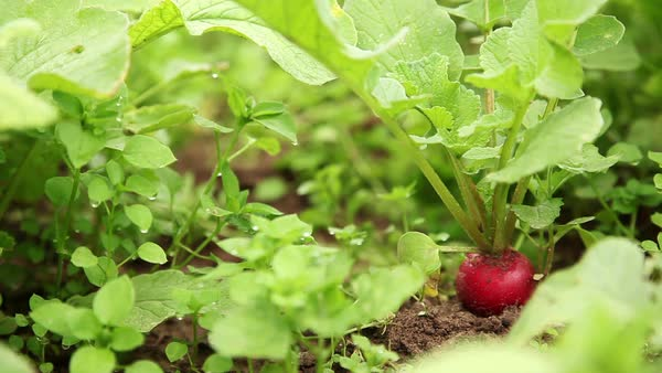 Radish growing in vegetable garden Royalty-free stock video