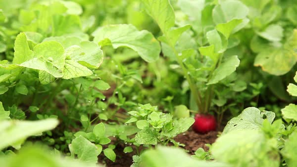Person picking radish from vegetable garden Royalty-free stock video
