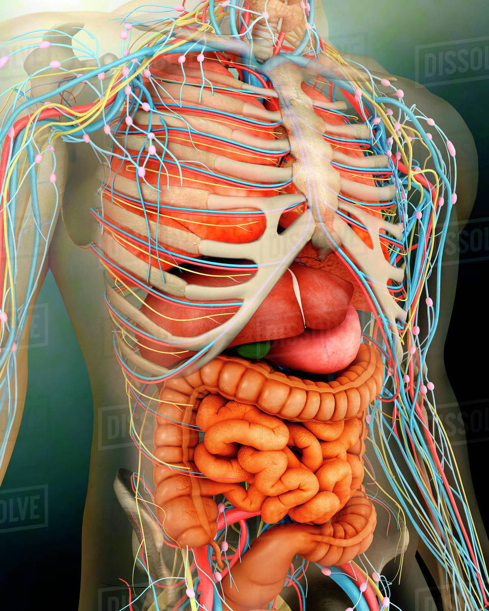 Perspective View Of Human Body Whole Organs And Bones Stock