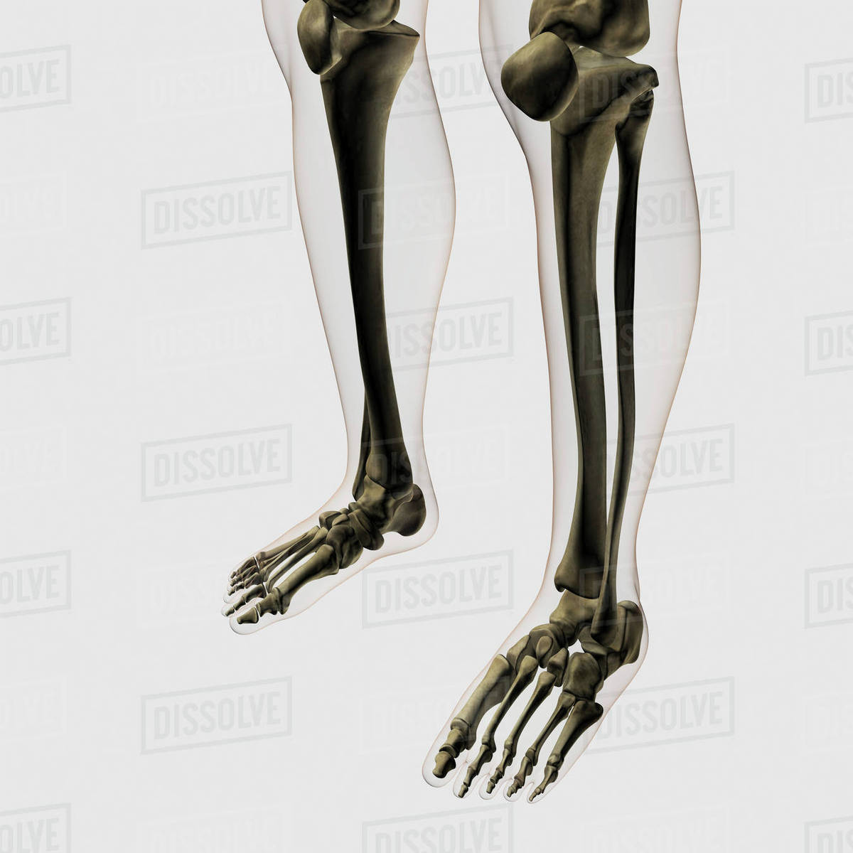 Three dimensional view of human leg and feet bones. - Stock Photo ...