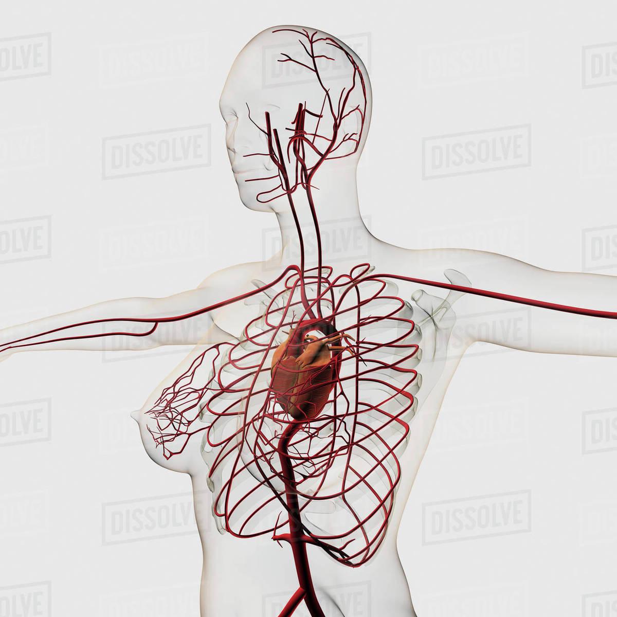 Medical Illustration Of Female Circulatory System Stock Photo