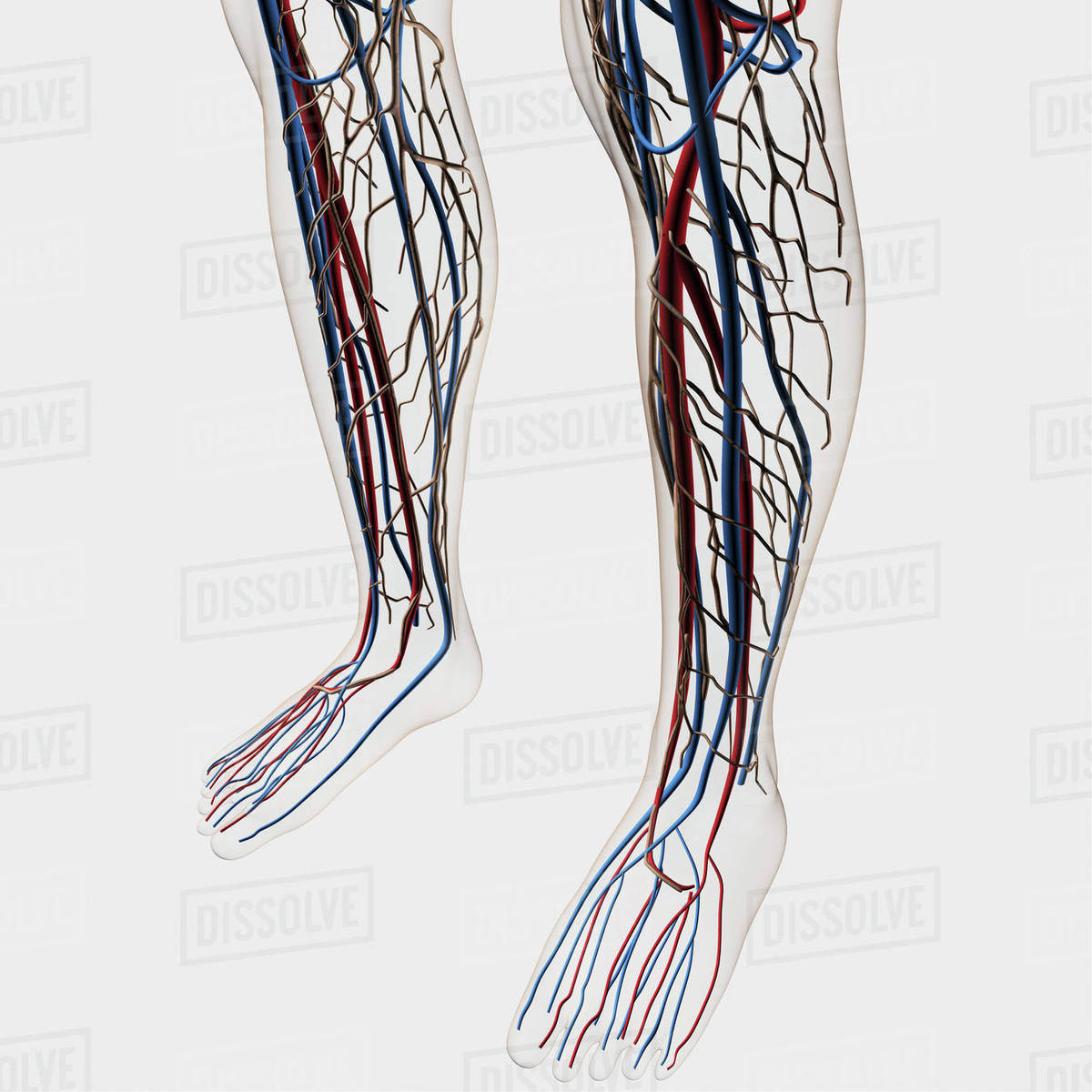 Medical Illustration Of Arteries Veins And Lymphatic System In
