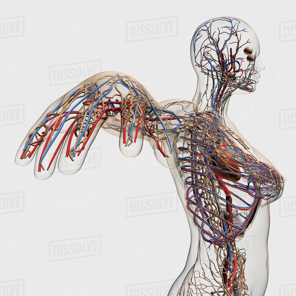 Medical illustration of arteries, veins and lymphatic system in ...