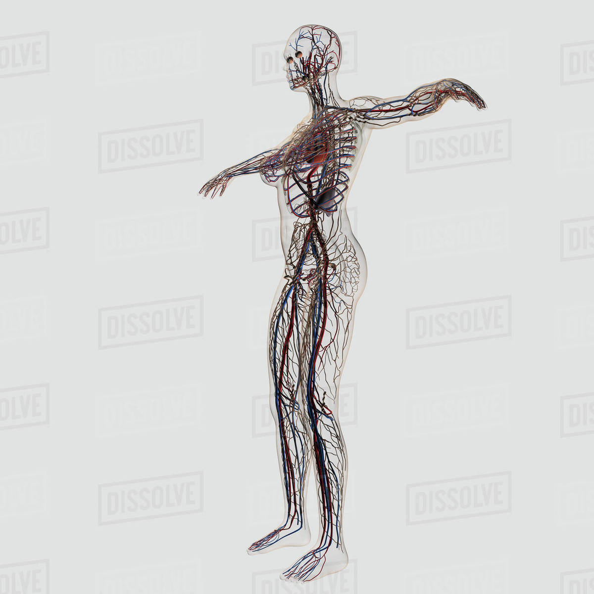 Medical Illustration Of Female Arteries Veins And Lymphatic System