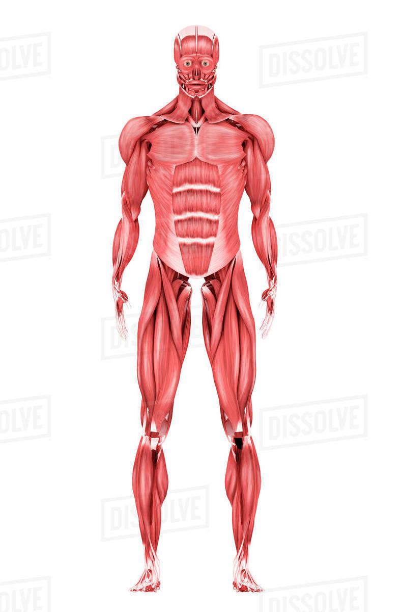 Wunderbar Muskelsystem Arm Galerie - Menschliche Anatomie Bilder ...