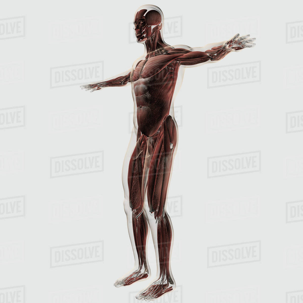 Anatomy Of Male Muscles In Upper Body Anterior View Stock Photo