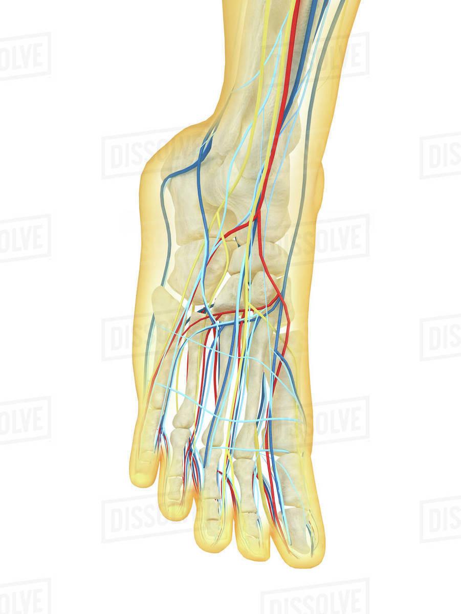 Anatomy of gall bladder ganglion. - Stock Photo - Dissolve