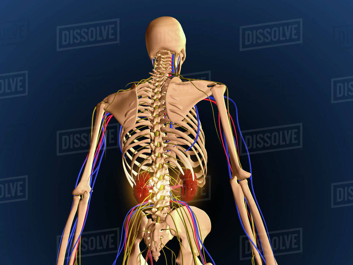 Human Upper Body Showing Bones Lungs And Circulatory System