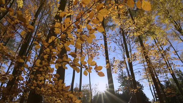 Sunset in autumn forest branches with golden leaves Royalty-free stock video