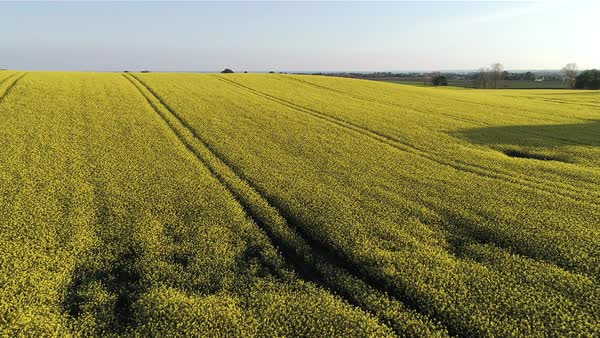 Aerial shot of a canola field in Denmark Royalty-free stock video